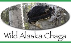 Great Wild Alaska Chaga recipes with videos explaining how to make Chaga Tea and Chaga Coffee!
