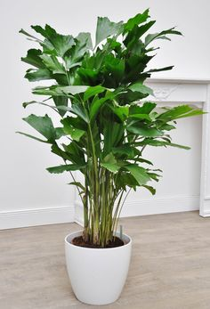gr nlilie 39 variegata 39 living pflanzen zimmerpflanzen. Black Bedroom Furniture Sets. Home Design Ideas
