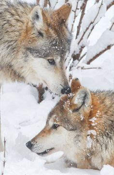 """h4ilstorm: """"Wolves Play in the Snow (by Mark Dumont) """""""