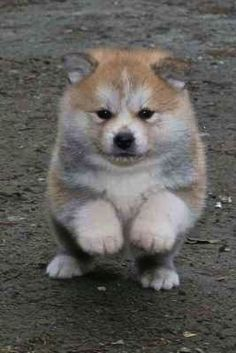 Akita Inu puppy. I would love one :(