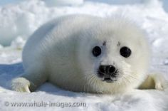 Photo of cute baby Harp Seal near the Gulf of St. Lawrence, Canada trying to keep safe from any predators.
