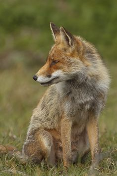 Red Fox by Angela Louwe on 500px