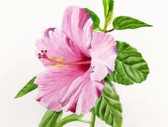 a simple watercolor painting of a pink hibiscus . by Sharon Freeman