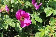 Začíná kvést svraskalá růže a neomrzí ji to až někdy do konce září. Přivoním si pokaždé, když nesu nádobu se zeleninovými slupkami na kompost. Plants, Compost, Plant, Planets