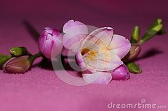 Pink freesia on a pink background