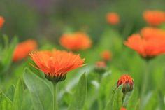 25 plantes médicinales à connaître - Santé Nutrition Garden, Plants, Orange Flowers, Permaculture, Calendula, Colorful Garden, Seeds, Flowers