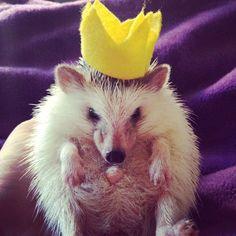 Hedgehog costume as a Prince