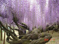 O túnel de Glicínias no jardim de Kawachi Fuji no Japão 04