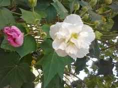 Andando com Formigas: Rosa Louca