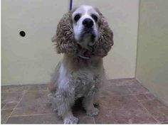 SAFE --- SUPER URGENT 2/27/14  Manhattan Center    MAMA - A0992694    FEMALE, TAN / WHITE, COCKER SPAN, 8 yrs  OWNER SUR - EVALUATE, HOLD FOR ID  Reason NO TIME   Intake condition NONE Intake Date 02/27/2014, From NY 10461, DueOut Date 03/02/2014 https://www.facebook.com/Urgentdeathrowdogs/photos_stream