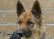 German Shepherd Rescue of Orange County | Dogs for Adoption