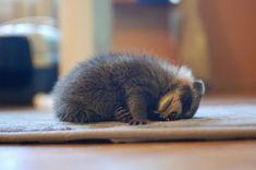 Exhausted Baby Raccoon