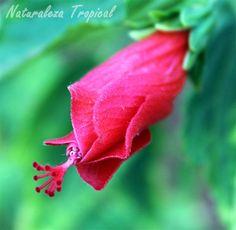Flor de la planta Malvaviscus penduliflorus, el falso hibiscus o pasiflora