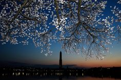 Cherry blossoms bloom on the edge of the Tidal Basin after a colder than normal March and chilly April delayed the beginning of the cherry blossom season in the nation's capital April 2013 in Washington, DC. Cherry Blossom Season, Cherry Blossoms, Beautiful Places, Beautiful Pictures, Evening Sky, Big Picture, Andy Warhol, Gandhi, Mother Nature
