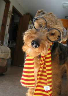 harry potter terrier - this is for you - Slough Airedale Terrier, Irish Terrier, Fox Terrier, Terriers, Dog Halloween Costumes, Pet Costumes, Unique Costumes, Animal Costumes, I Love Dogs