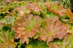 Darmera peltata is one of the rare herbaceous perennials whose foliage will turn beautifully coppery red in autumn.