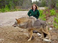 Wow, that wolf is huge!
