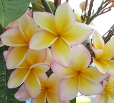 Plumeria or Frangipani - Toss these pristine, honey-sweet flowers in your salad, cook them in candy, or dry them for an exotic tea. Tropical Flowers, Plumeria Flowers, Hawaiian Flowers, Exotic Flowers, Amazing Flowers, Beautiful Flowers, Edible Plants, Edible Flowers, Flower Lei