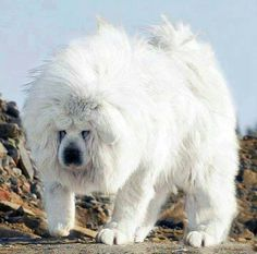 Largest Tibetan Mastiff - known as a 'Snow White' Tibetan Mastiff Dog Giant Dog Breeds, Giant Dogs, Large Dog Breeds, Really Big Dogs, Huge Dogs, Pet Dogs, Dogs And Puppies, Dog Cat, Doggies