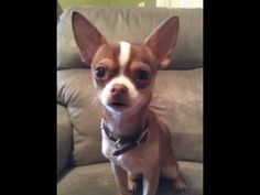 Choco the Macho Chihuahua teaches you to speak southern. Chihuahua Quotes, Cute Chihuahua, Chihuahua Puppies, Chihuahuas, Dogs And Puppies, I Love Dogs, Puppy Love, Cute Dogs, Mans Best Friend