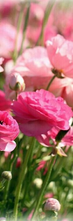 Pink Flowers : Pink Ranunculus ~ Carlsbad, CA - Flowers.tn - Leading Flowers Magazine, Daily Beautiful flowers for all occasions My Flower, Pretty In Pink, Pink Flowers, Beautiful Flowers, Ranunculus Flowers, Pink Peonies, Cut Flowers, Daffodils, Peony