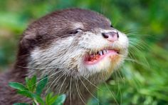 One of three young Oriental small-clawed otters eats a meatball in a zoo in Dresden, eastern Germany. The oriental small-clawed otter female Fussi gave birth to 3 healthy pups. Its pups now leave their burrow to explore the environment.