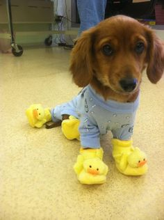 puppy in a onesie with duck slippers.