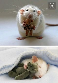 idk why ppl hate rats, theyre way friendlier and sweeter than most of the hamsters. they also never bite like most hamsters Cute Baby Animals, Animals And Pets, Funny Animals, Wild Animals, Happy Animals, Funny Dogs, Animal Pictures, Cute Pictures, Funniest Pictures