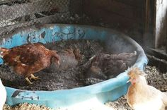 Natural Chicken Keeping: Natural Way to Rid Chickens of Lice & Mites - Wood Ash and Neem Oil