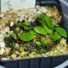 The Cephs almost 2 weeks in #cephalotus #australianpitcherplant #divisions #carnivorousplantsofinstagram #carnivorousplants by wolf_spirit77