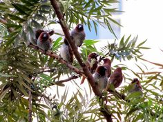 3. These are the Scaly breasted Finch (Munia) They are extremely shy. So they don't come directly to the balcony. Their first stop is this tree close to the balcony