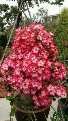 Beautiful Flowers, Flowering Trees, Trees To Plant, Unusual Plants, Plants, Desert Rose Plant, Adenium, Tropical Garden, Garden Bonsai Tree