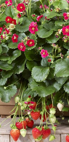 The blooms are delightful, but even better is the sweet strawberries that hang from the foliage in a container. A great plant to get children interested in growing their own food, they'll enjoy the daily hunt for ripe berries each day. Game on!