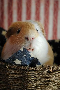 Buddons was at a Memorial Parade and brought back a flag.  He wants to meet Zoro his new friend.  He is our Star Piggy