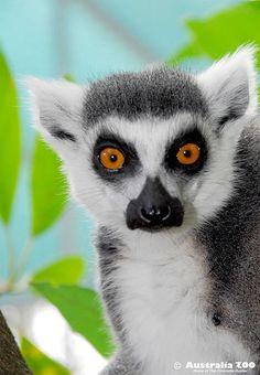 Australia Zoo's cheeky Ring-tailed Lemur, Julian #lemur. Australia zoo would be awesome to see
