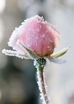 Pink frosted rose | Photographer unknown