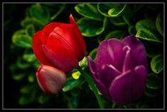 Cuidados de los tulipanes - http://www.jardineriaon.com/cuidados-de-los-tulipanes.html
