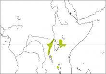 Mountain Illadopsis (Illadopsis pyrrhoptera)
