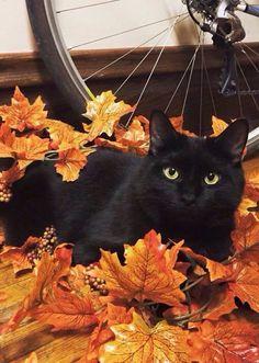 Autumn Outono Gato nas folhas