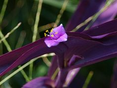 """Purple Queen """"Tradescantia pallida"""" Very Southern plant... yes its in my yard too :-)"""