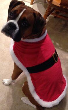 Christmas boxer.