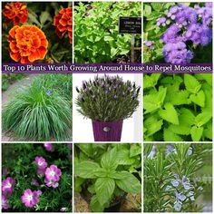 10 Plants Worth Growing Around House to Repel Mosquitoes