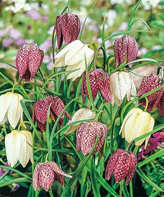 This Chapel Bells Mixed Bulb - Set of 8 by Spring Hill Nursery is perfect! #zulilyfinds