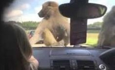 Safari Park Monkeys Have Sex On Car Bonnet, Scar Girl For Life
