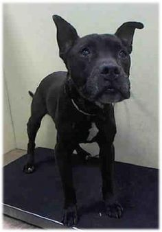 SUPER URGENT Brooklyn Center MAFIOSO A1939427 MALE, BLACK, PIT BULL MIX, 15 yrs STRAY – STRAY WAIT, NO HOLD Reason STRAY Intake condition EXAM REQ Intake Date 06/01/2015 +++++was found outside of shelter+++++++