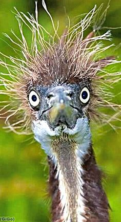 Some days I just can't do anything with my hair. Rare Animals, Funny Animals, Bird Drawings, Animal Faces, Animal Humor, Beautiful Birds, Beautiful Images, Emu, Birdhouses