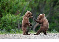 "superbnature: ""Grizzly bear cubs have to be some of the cutest animals on earth, especially spring cubs! These two were as cute as any stuffed teddy bear, except these cubs never stopped playing,. Grizzly Bear Cub, Bear Cubs, Baby Bears, Tiger Cubs, Baby Bear Cub, Teddy Bears, Panda Bears, Chi Bears, Baby Boy"