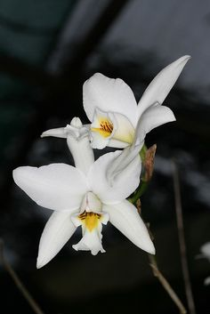 Laelia anceps (Marble Queen x self)-@@