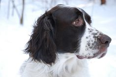 French Spaniel / Epagneul Français (Epagneul Francais) #Dogs #Puppy
