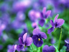 Pansy HD Wallpapers Backgrounds Wallpaper